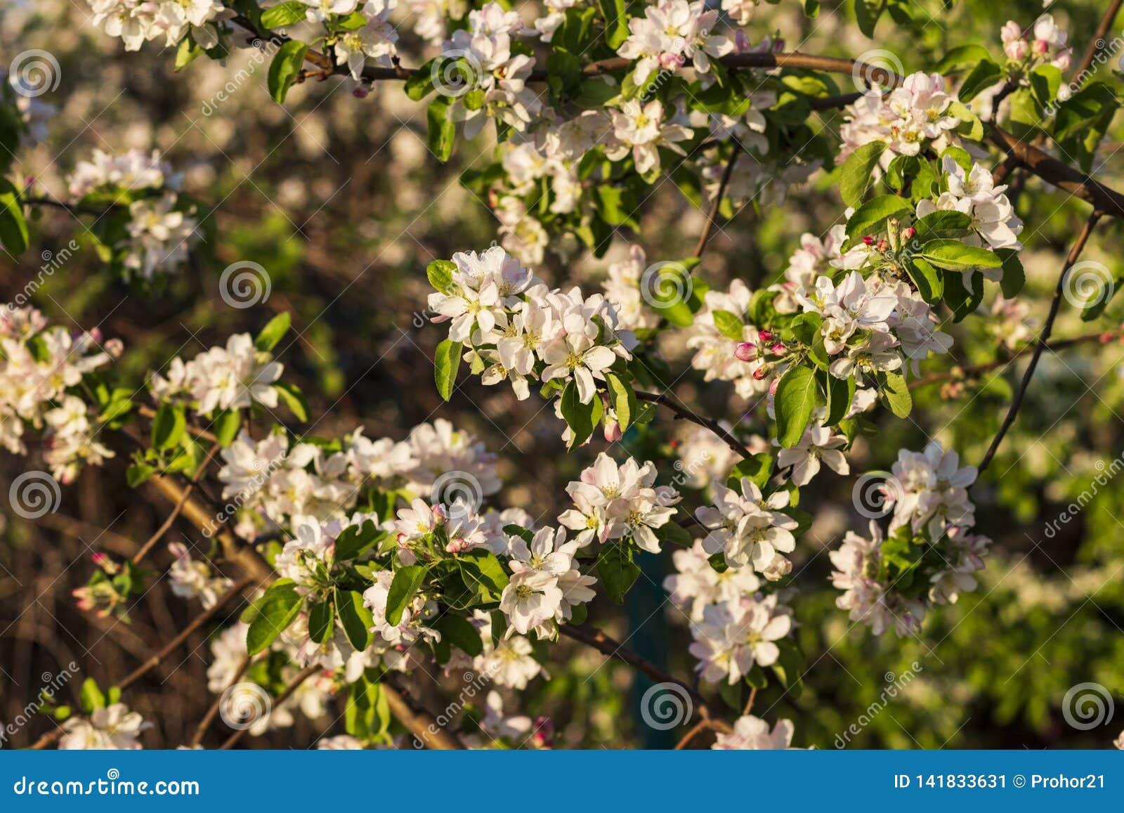Foto van een bloeiende appelboom