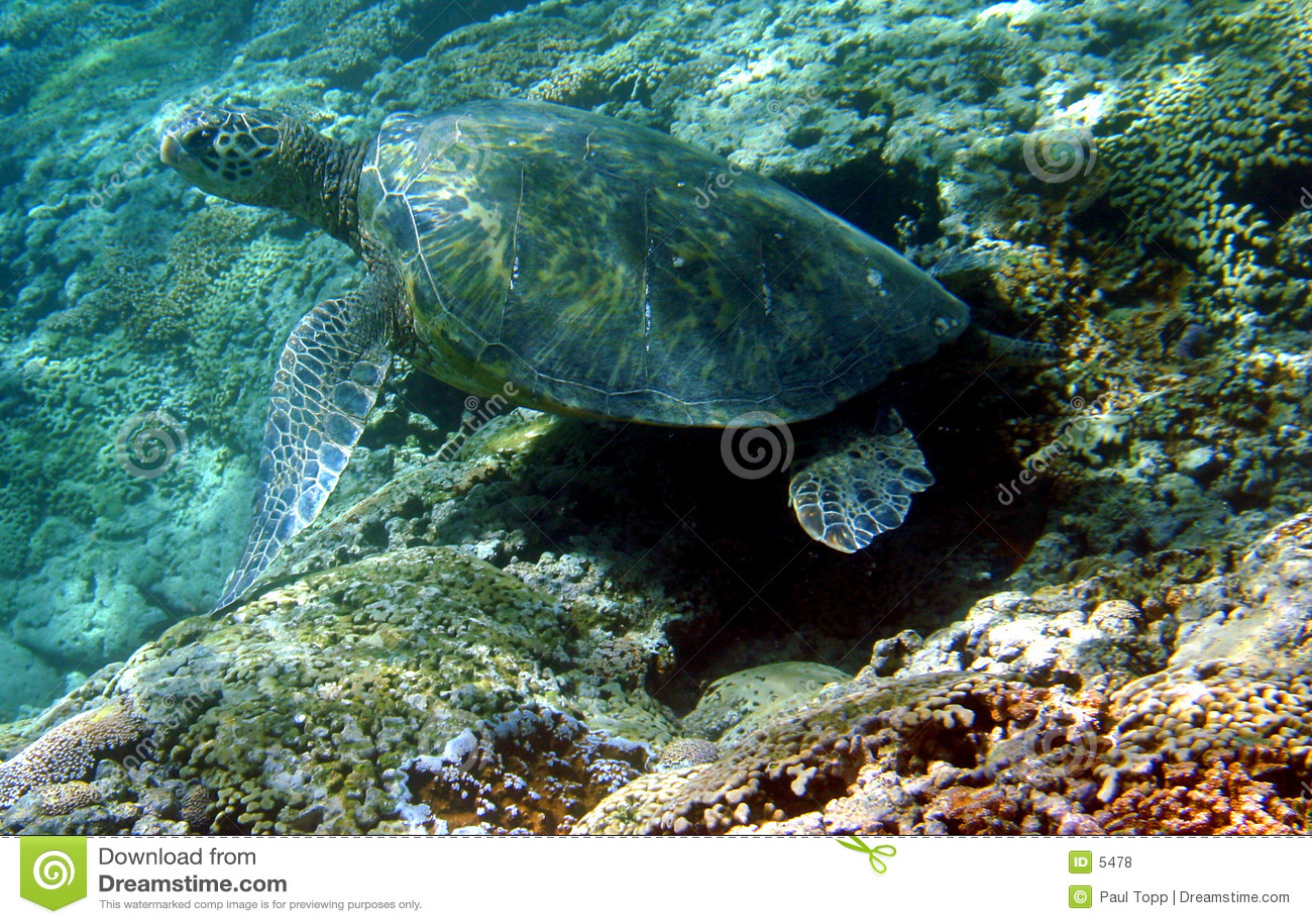 Foto van een Groene Overzeese Schildpad
