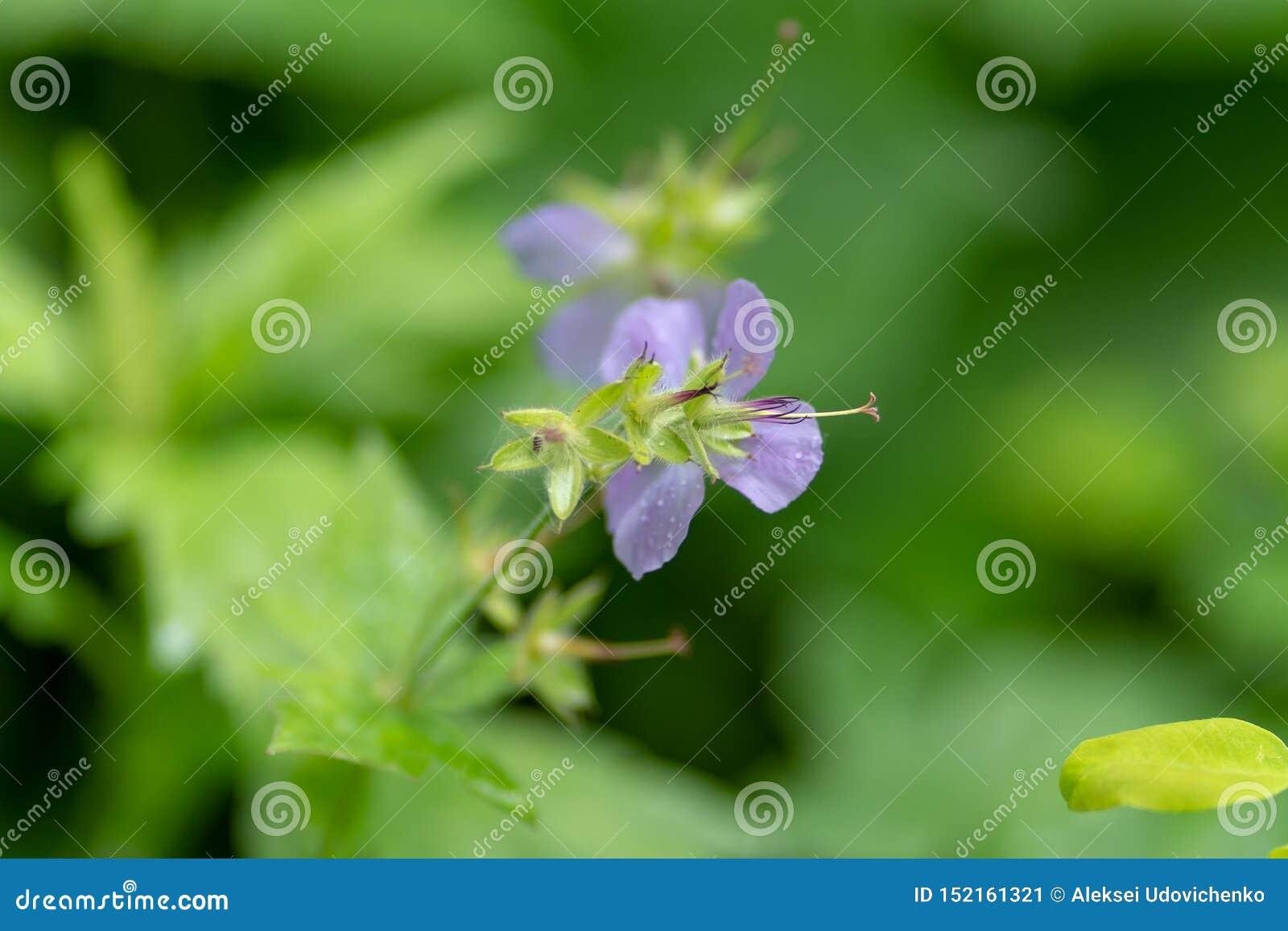 Foto van een lilac bloem tegen een grasachtergrond