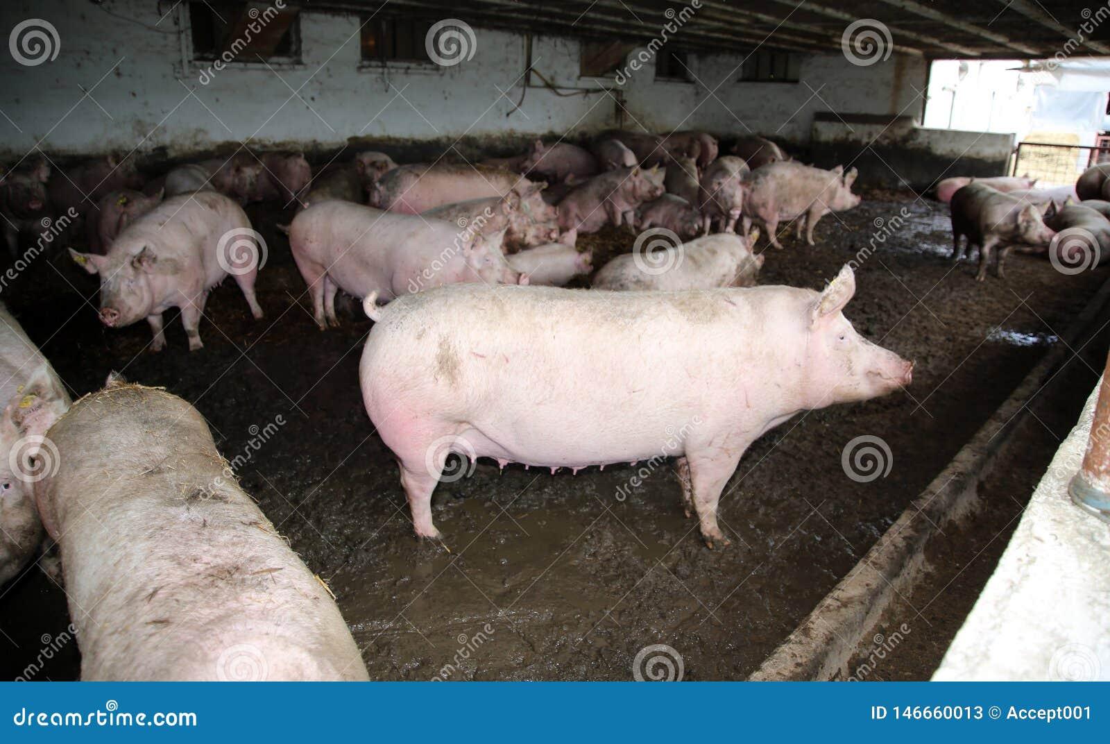 Foto van roze gekleurde pregrant zeugen van hierboven bij dierlijke landbouwbedrijf landelijke scène binnen