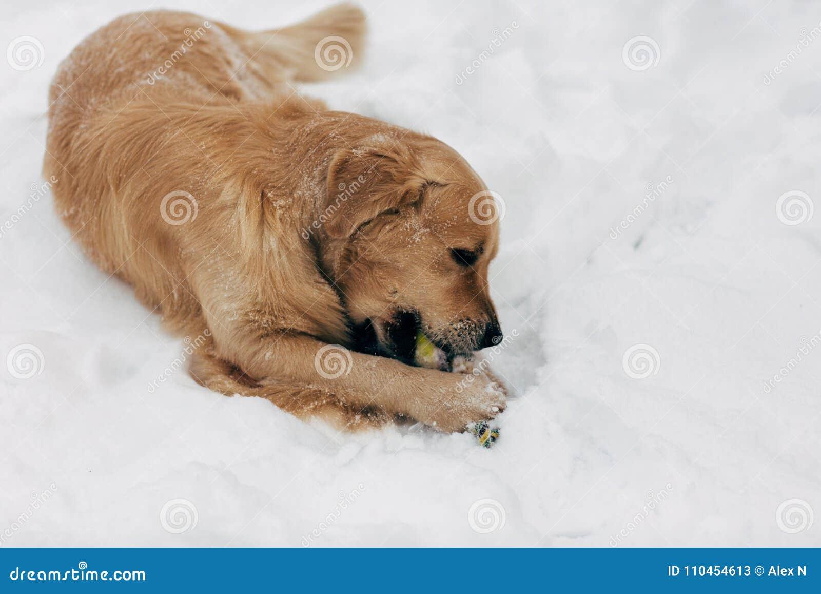 Fotoet av den gnagande leksaken för hunden på vinter går