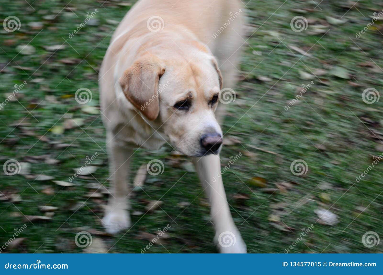 Fotogenes labrador retriever Liepaja, Lettland