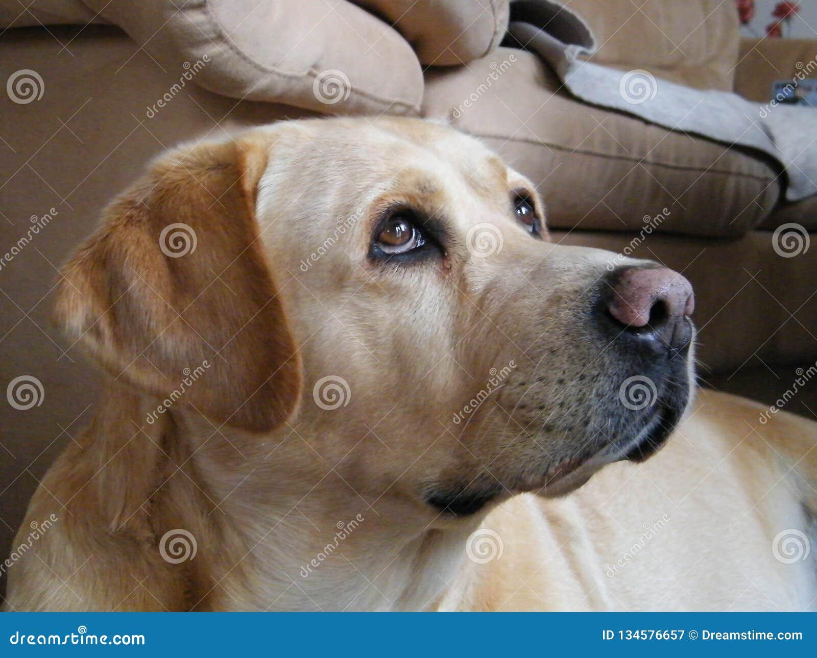 Fotogeniczny Labrador retriever Liepaja, Latvia