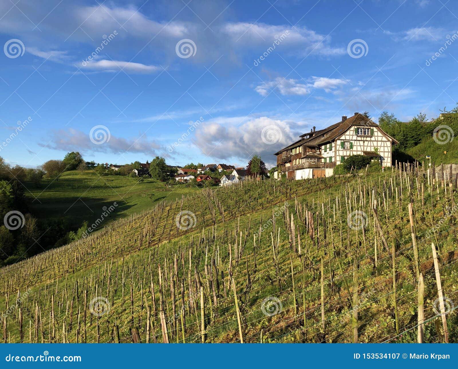 Fotogeniska vingårdar i byn av Buchberg