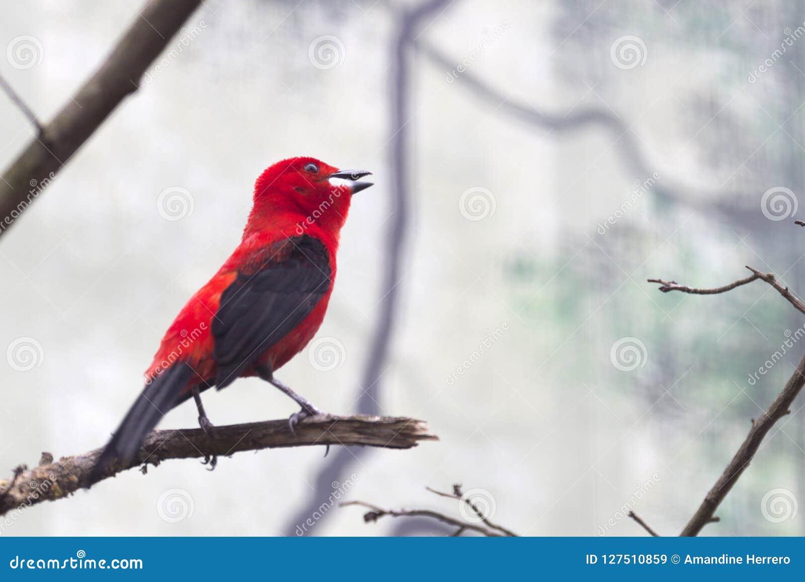 Fotografía en color de un pájaro rojo del Brasil
