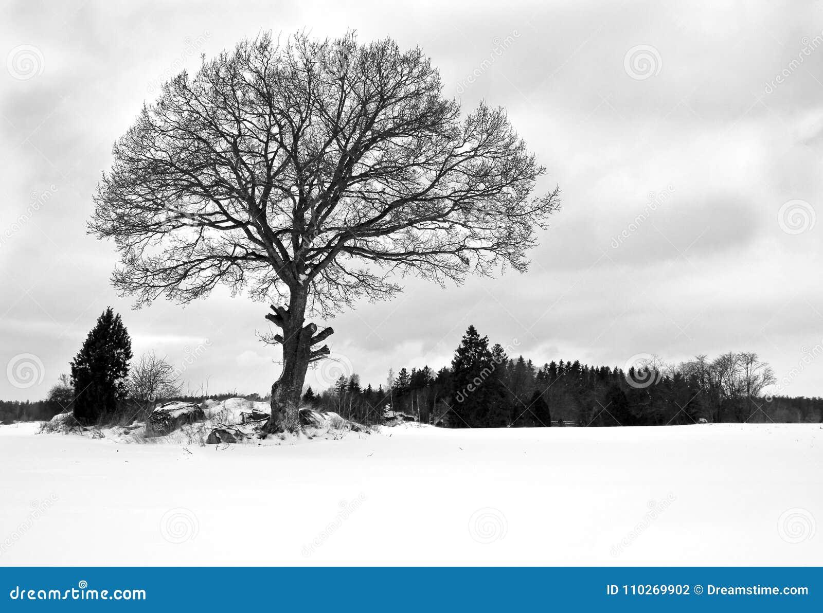 Fotografía hermosa del específico de la estación del invierno Escoja el árbol grande que se coloca alto y orgulloso en un prado/u