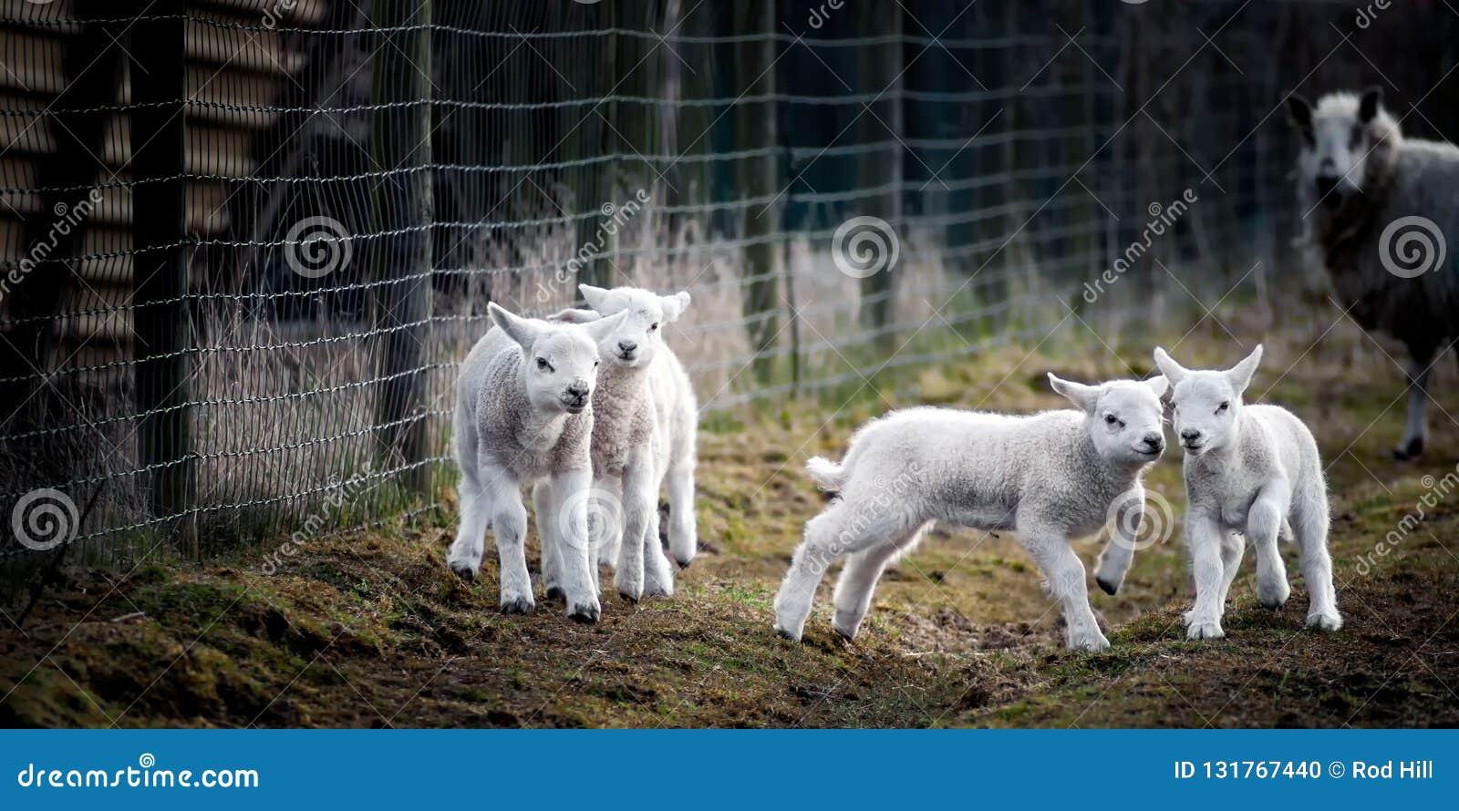 Fotografato sul venerdì 29 marzo 2013 Alcuni agnelli da latte che godono della vita e che giocano fuori nel campo, mentre uno del