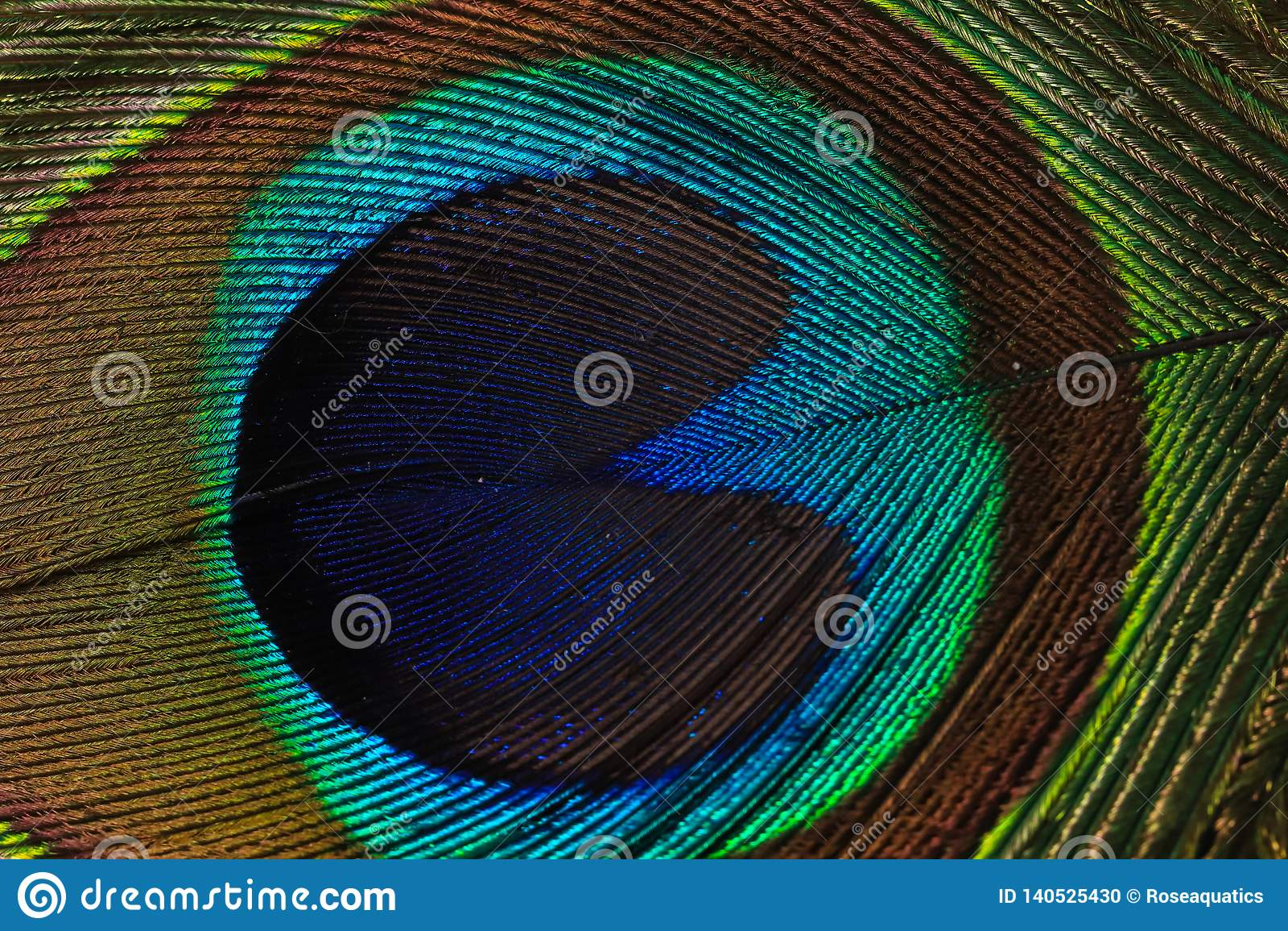 Fotografi för påfågelfjädermakro