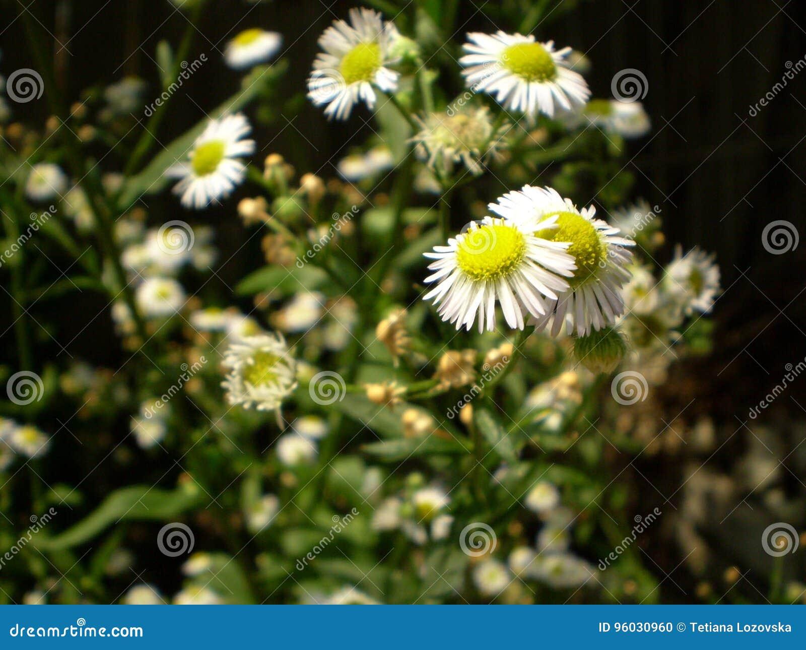 Fotografia biali chamomile kwiaty na zamazanym zielonym backgrou