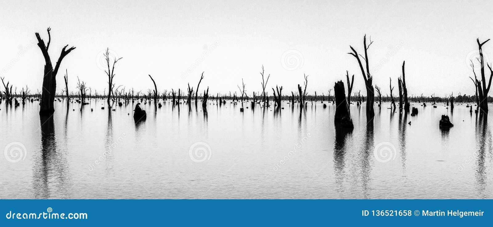 Fotografia dei tronchi di albero morti che attaccano dall acqua, Australia