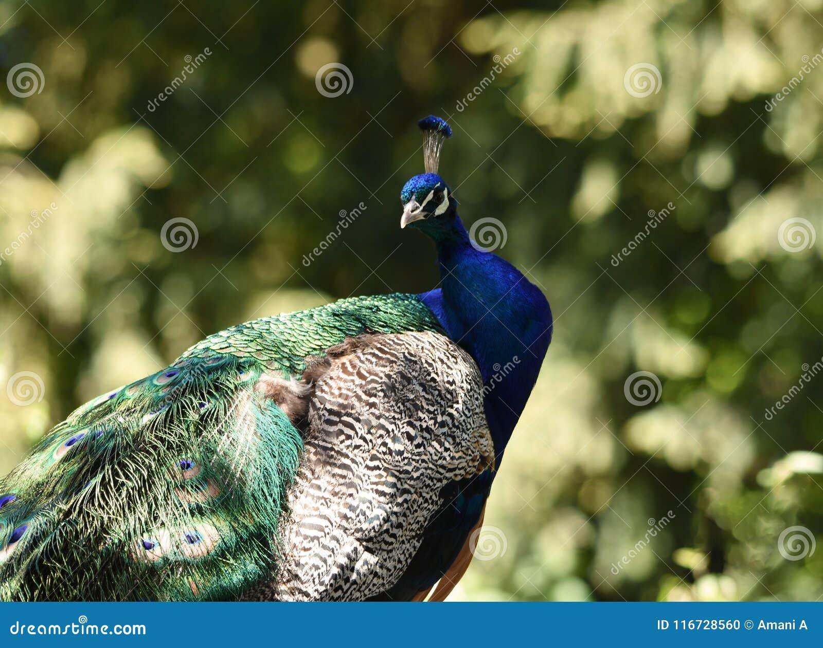 Fotografia del pavone reale con i colori naturalmente - Immagini pavone a colori ...