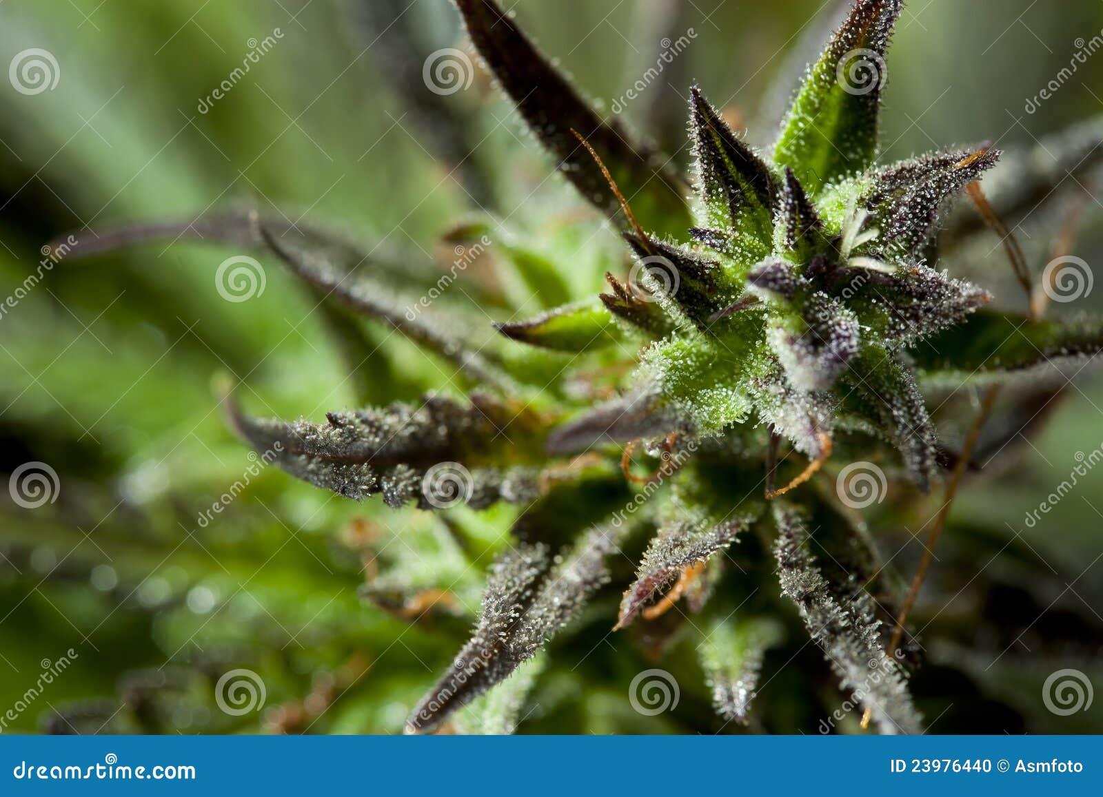 Fotografia dettagliata della pianta della canapa