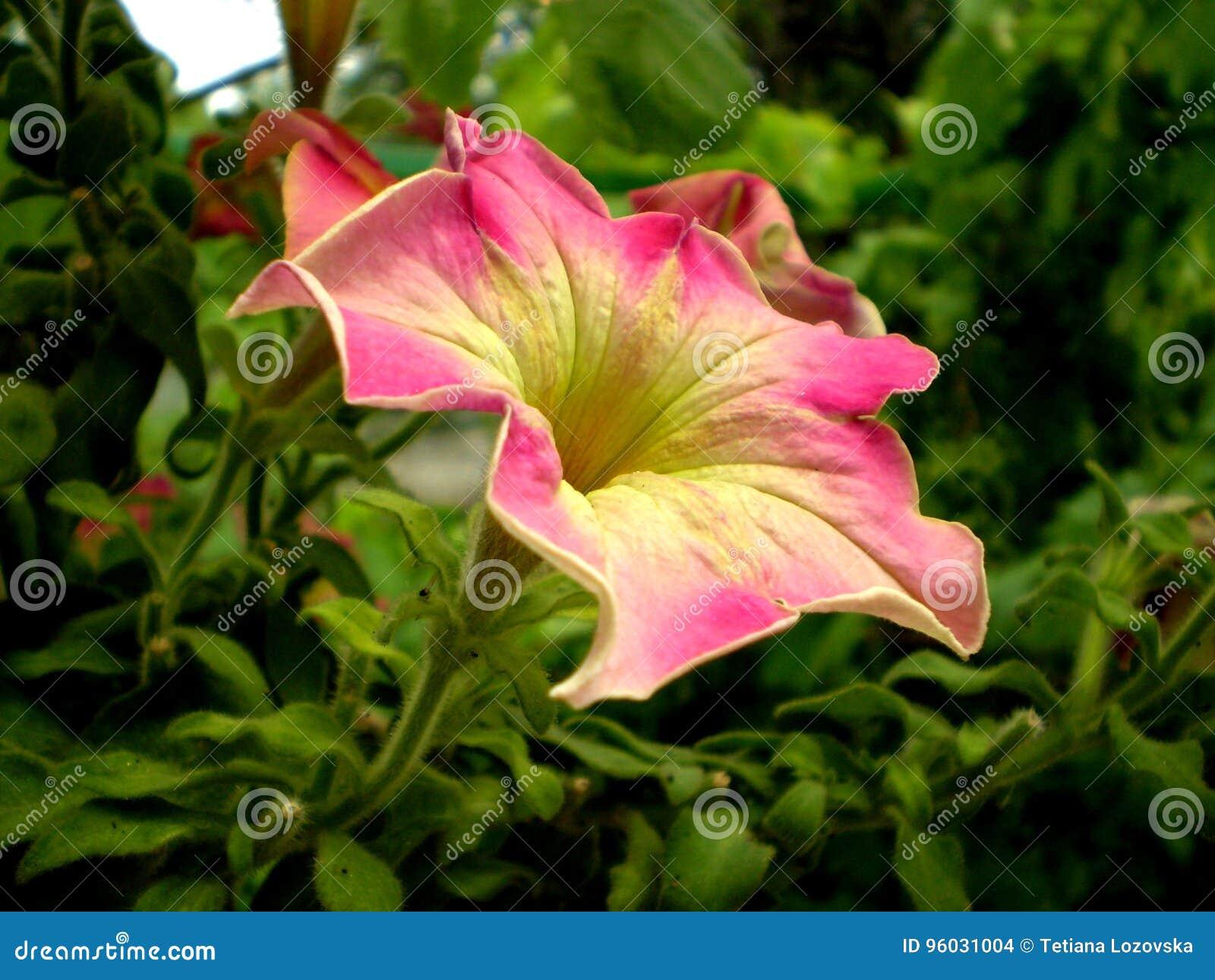 Fotografia menchie kwitnie na zamazanym zielonym tle