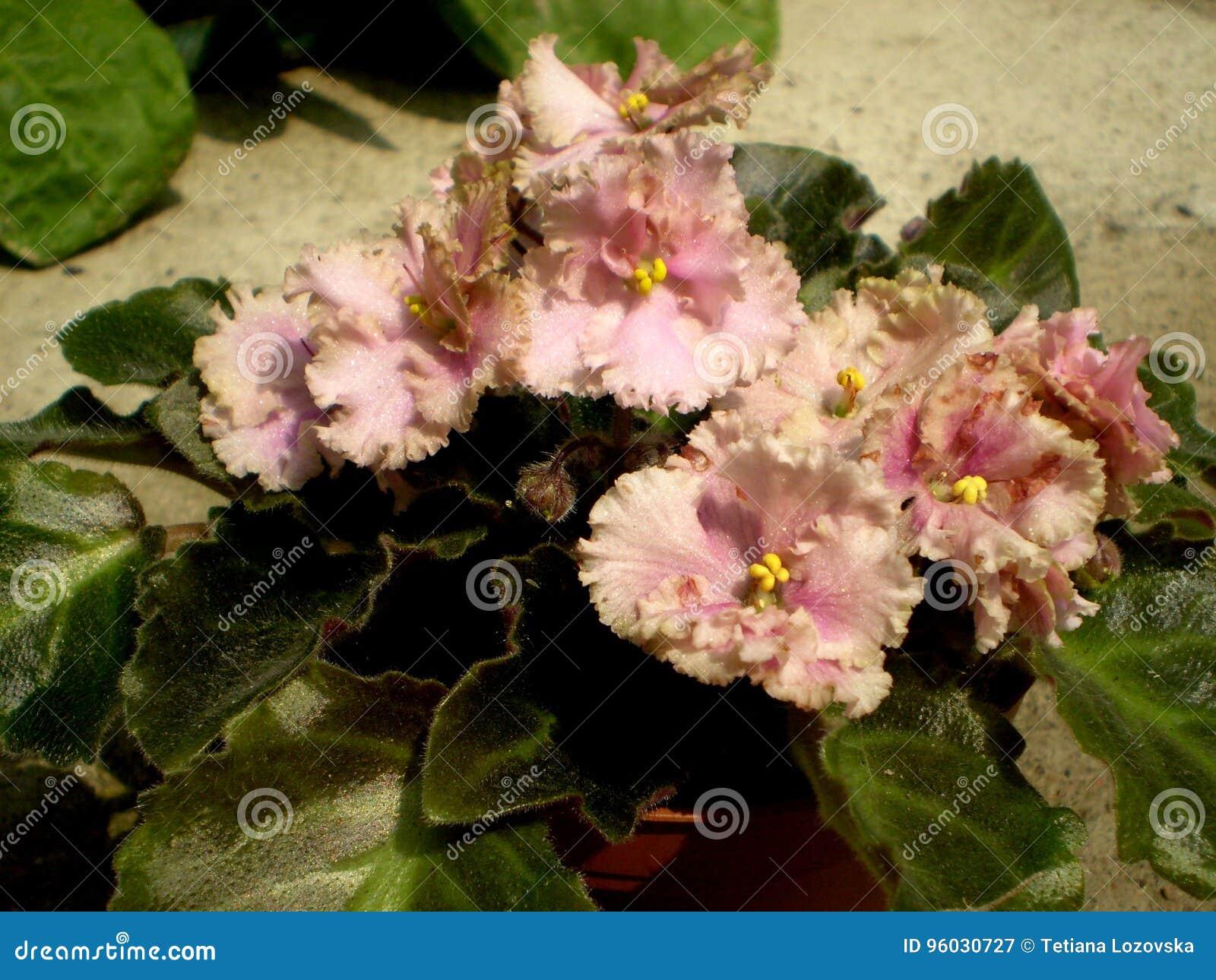 Fotografia różowy Saintpaulia kwiat z zielonymi liśćmi