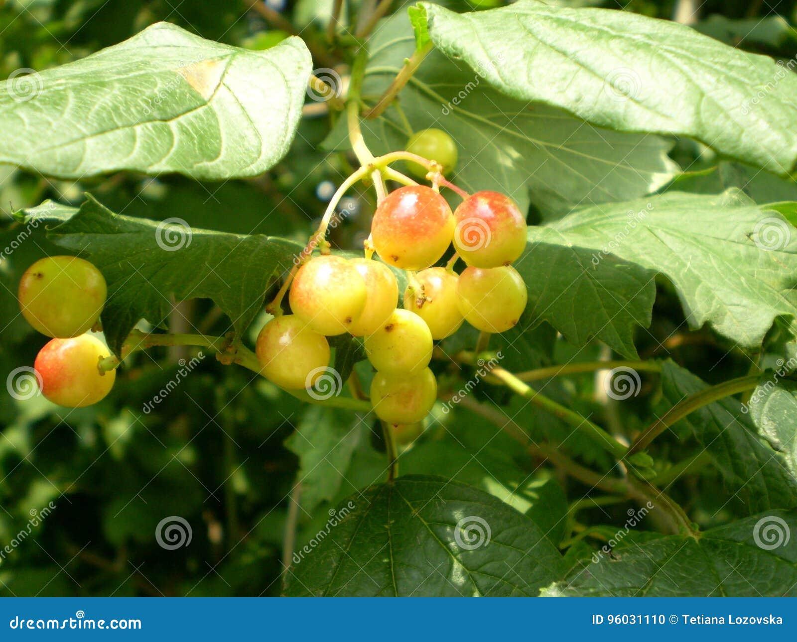 Fotografia rowan jagody na zamazanym zielonym tle