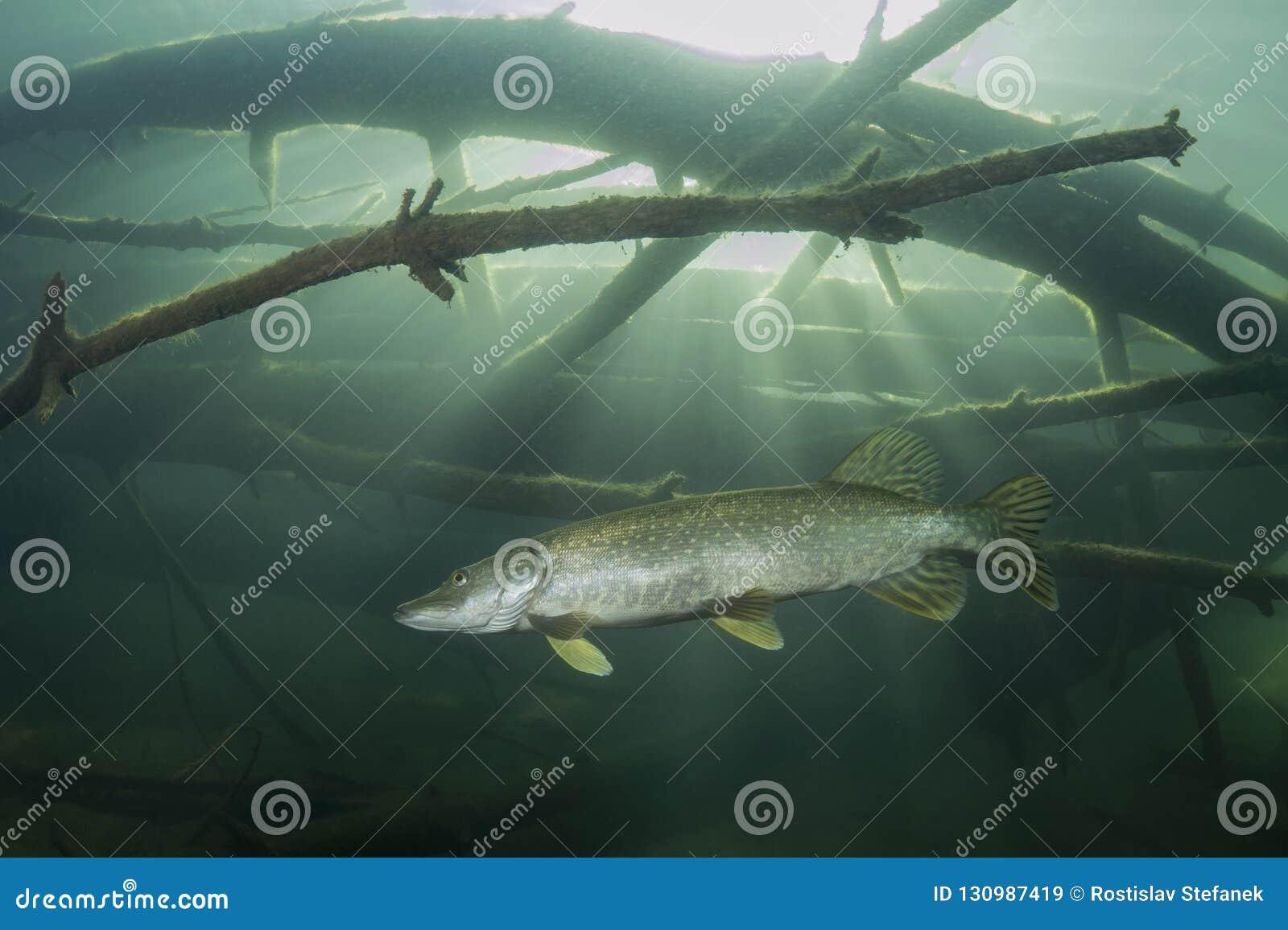Fotografia subacquea di esox lucius del luccio del pesce di acqua dolce