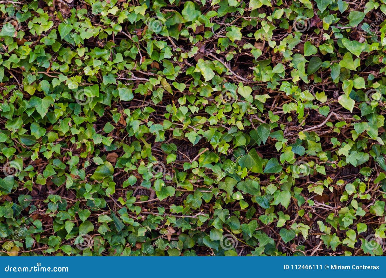 Fotografie von Reben eines Hintergrundes mit grünen Blättern