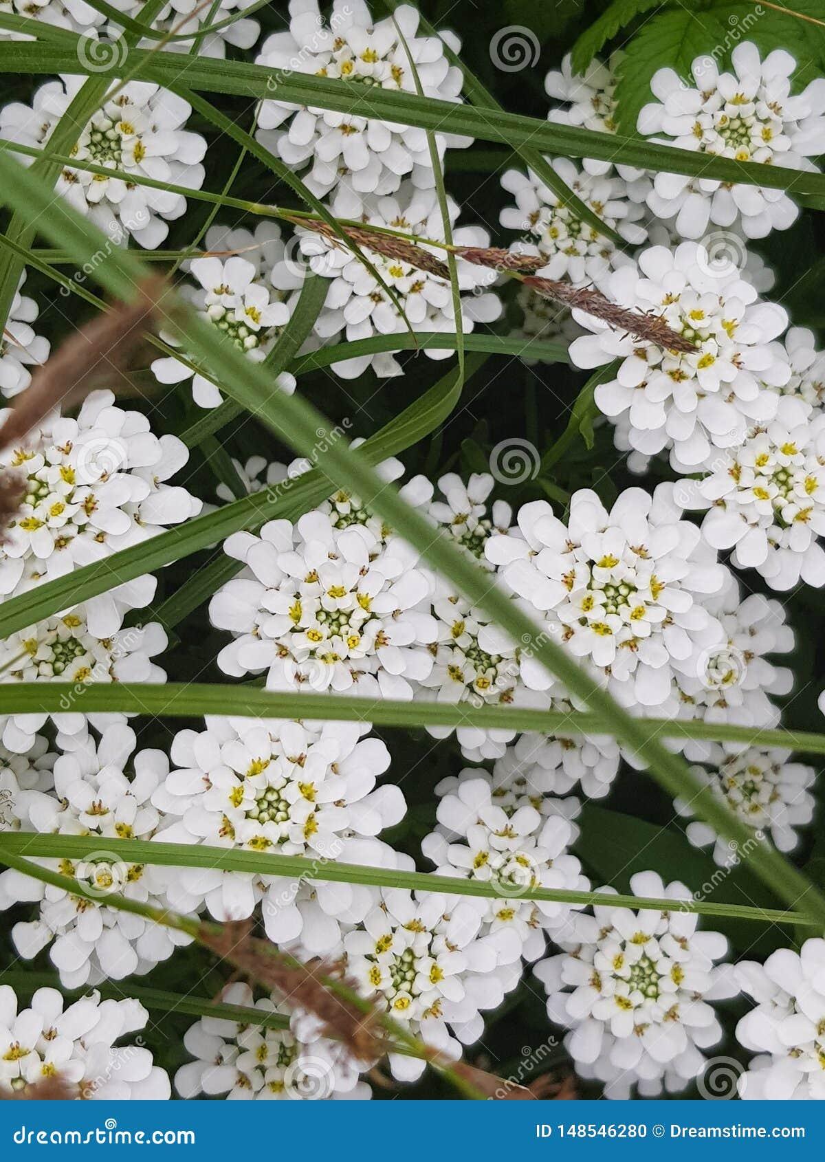 Fotos da beleza incomum, que capturaram as flores bonitas brancas