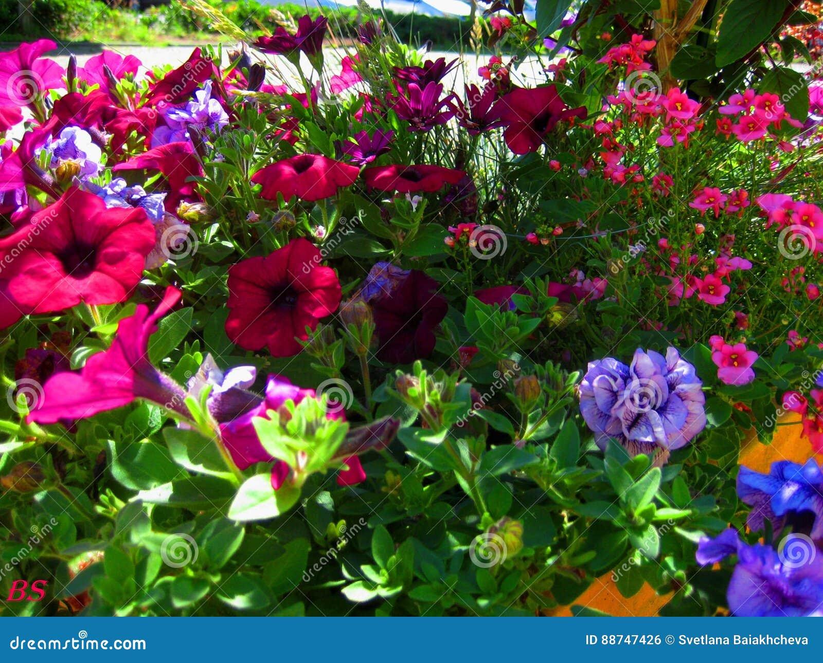 Fotos macras con las flores hermosas brillantes de la petunia para ajardinar