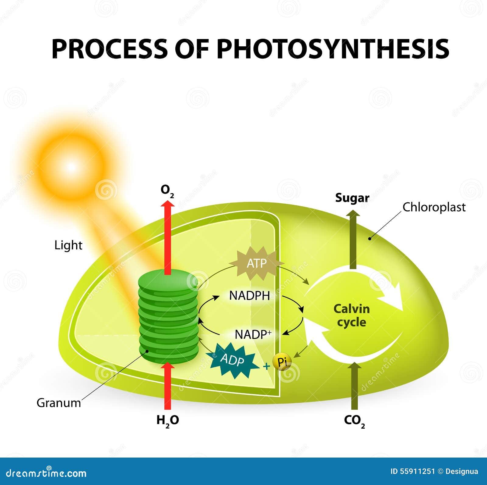 Fotosynthese Vector Illustratie  Illustratie Bestaande Uit