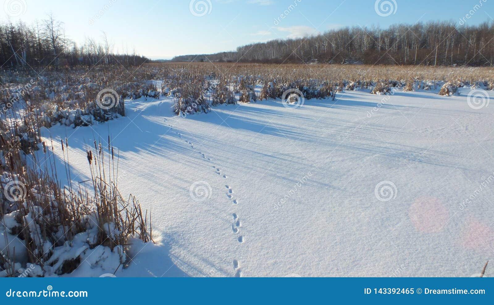 Fotspåren av räven på snön