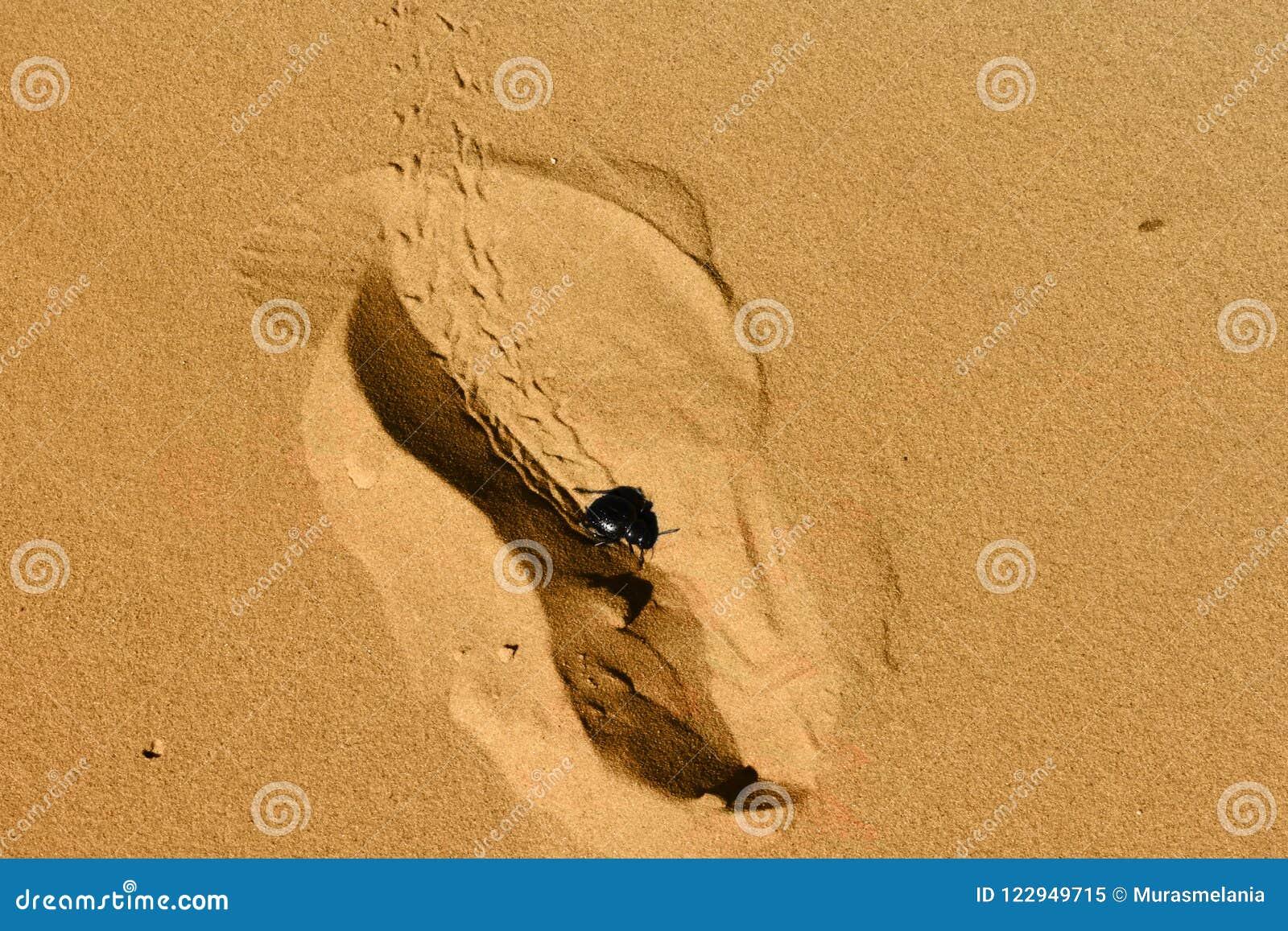Fotspårform med svartskalbaggen, texturer och modeller på sanden på Sahara Desert