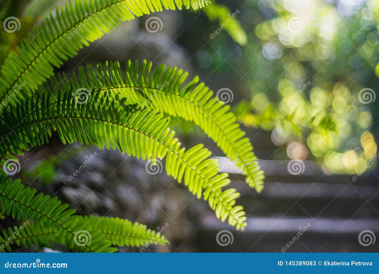 Foug?re tropicale de feuille vert clair sur un fond brouill? vert clair plan rapproch? avec le bokeh Beau Bush dans le jardin tro