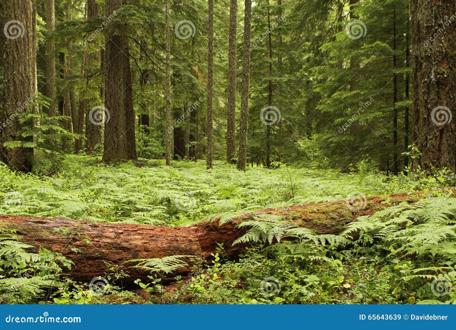 Fougères dans une forêt