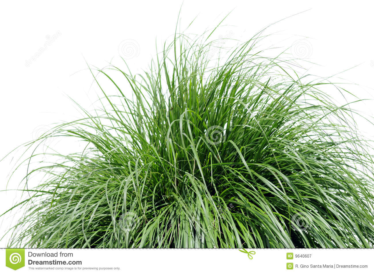 Fountain grass over white stock image image of green for White ornamental grass
