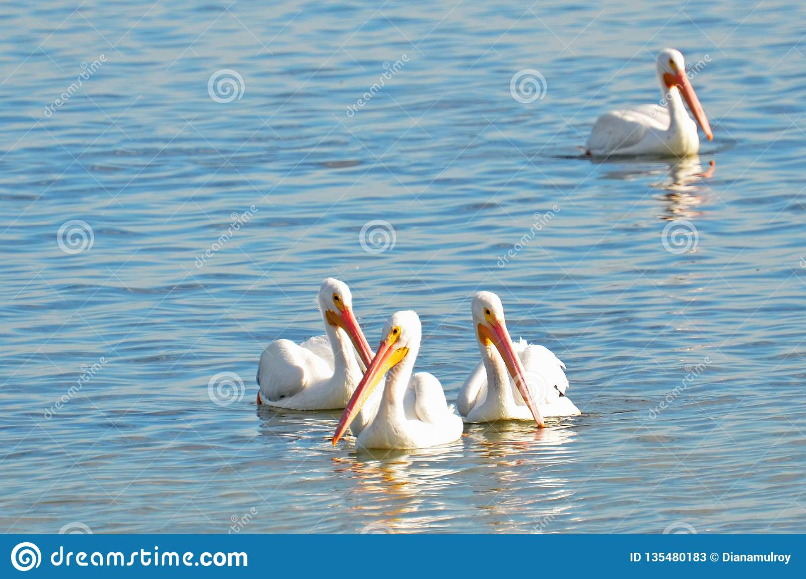 Four American white pelicans floating together in a group on reflective aquamarine water with copy space.