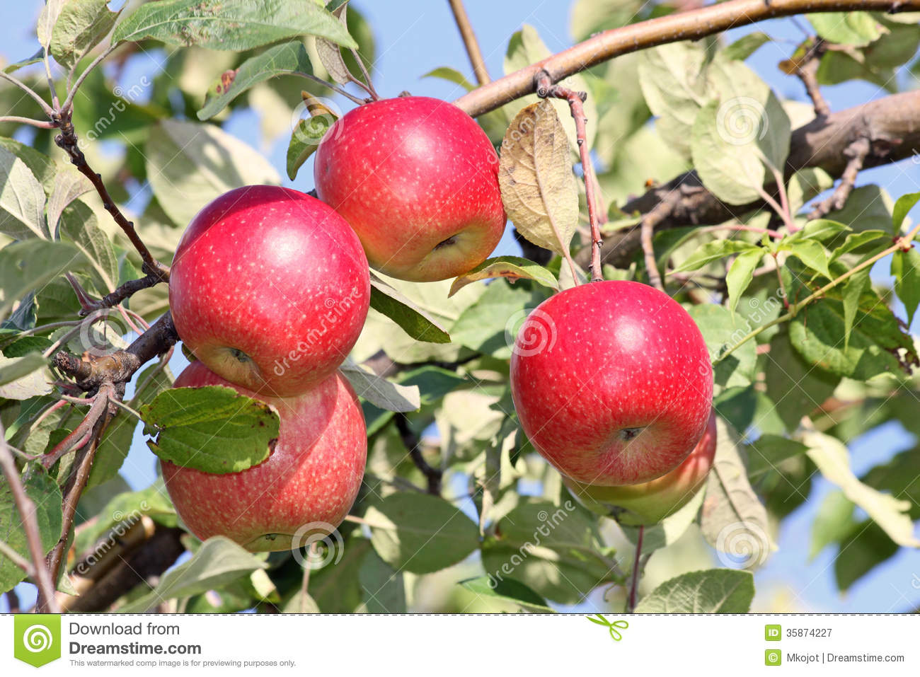 four apples on tree stock image image of close green 35874227
