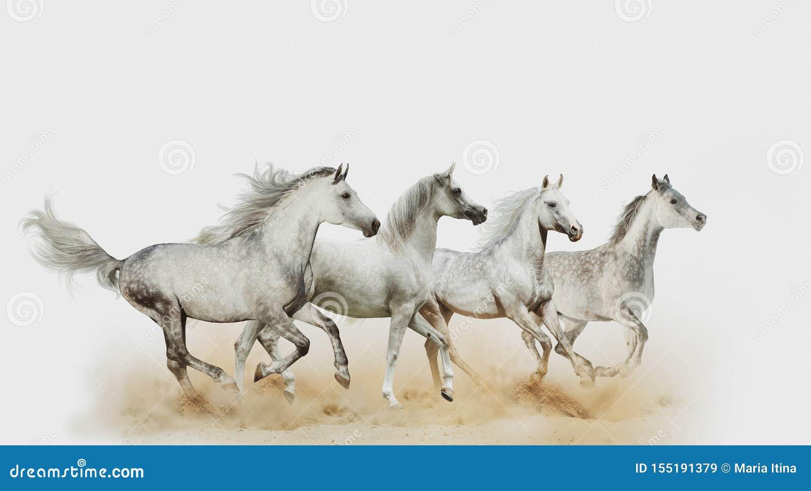 Four Beautiful Arabian Horses Stock Image Image Of Fast High 155191379