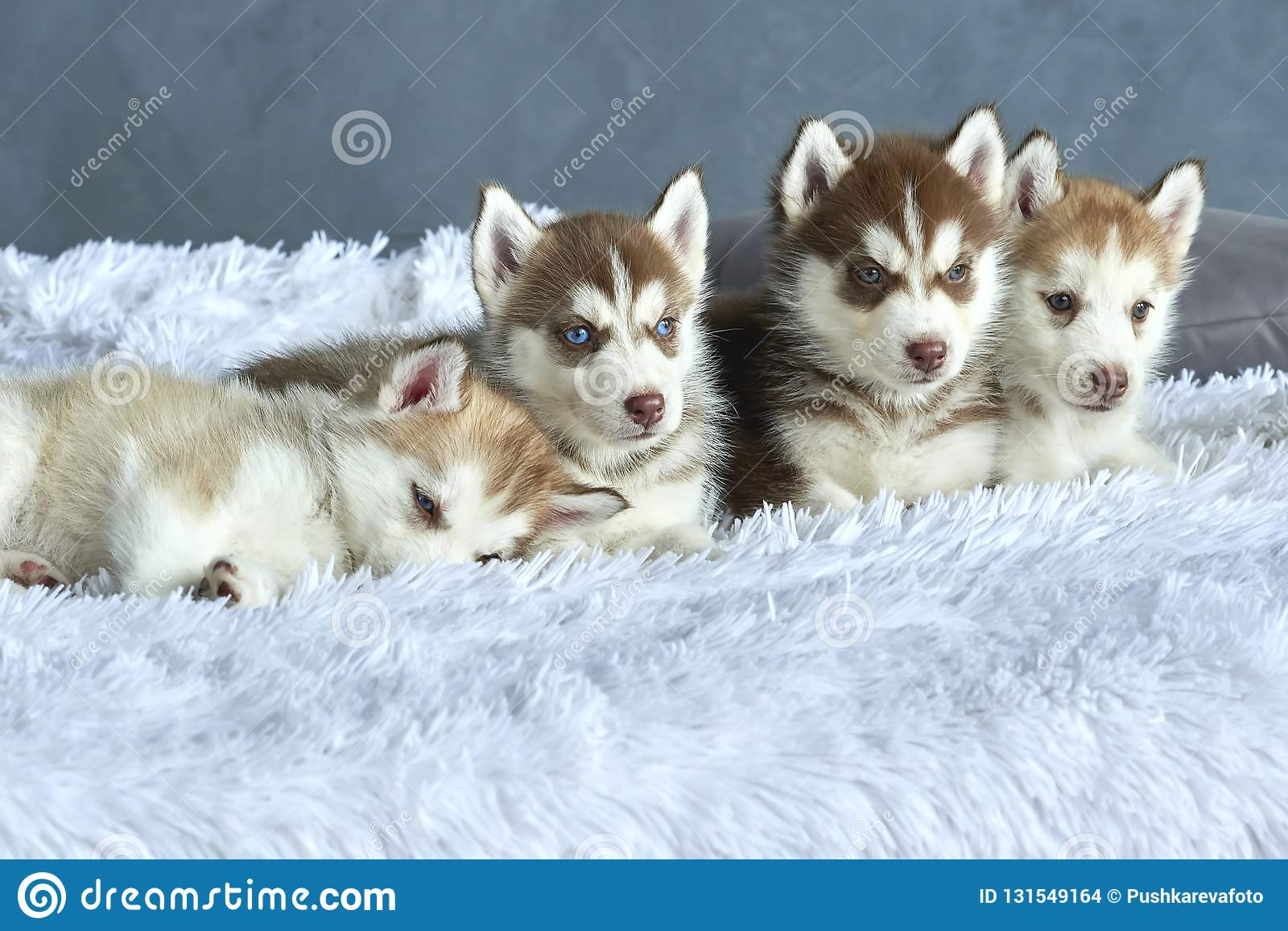 Four Blue Eyed Copper And Light Red Husky Puppies Lying On White Blanket Stock Photo Image Of Blueeyed Copper 131549164