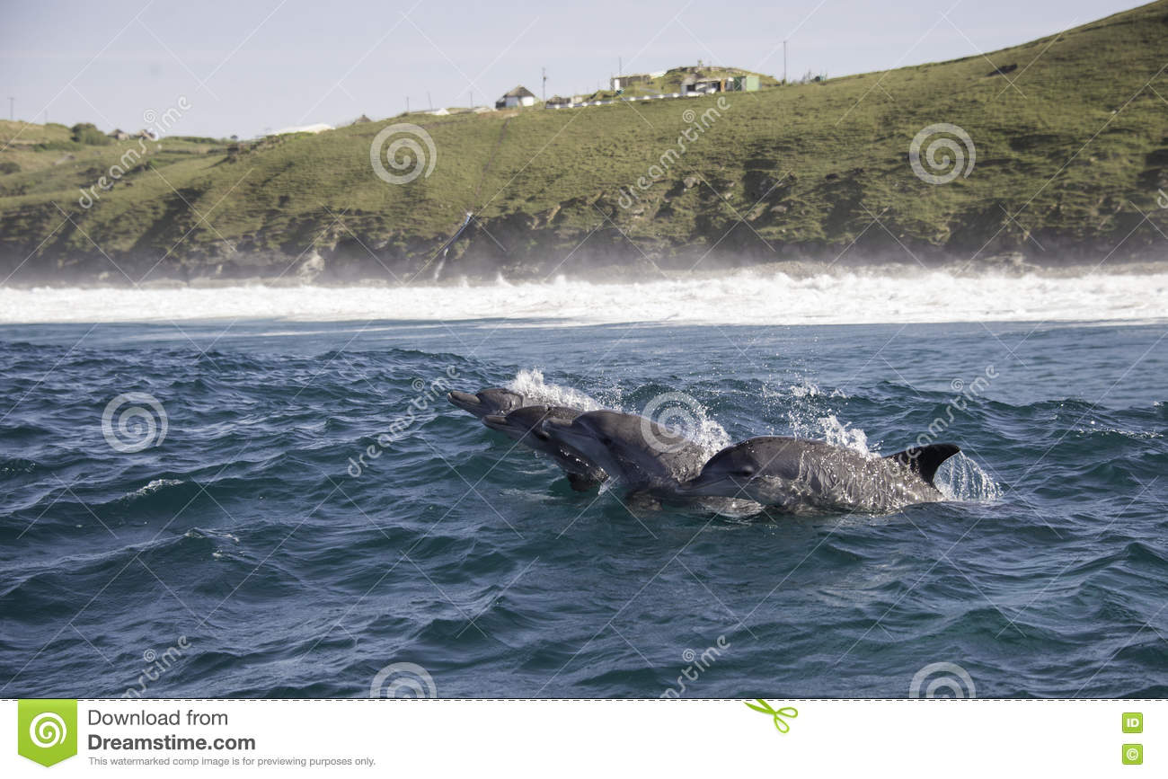 Four Bottle Nosed Dolphins Come Up to breath, South Africa