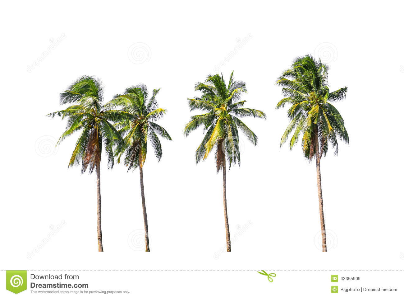 Three Tropical Trees In Thailand Isolated On White ...