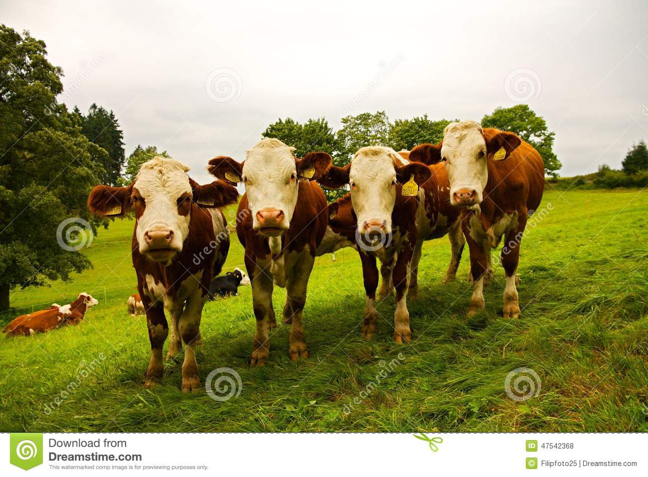 four cows stock photo image of landscape grass curious 47542368. Black Bedroom Furniture Sets. Home Design Ideas