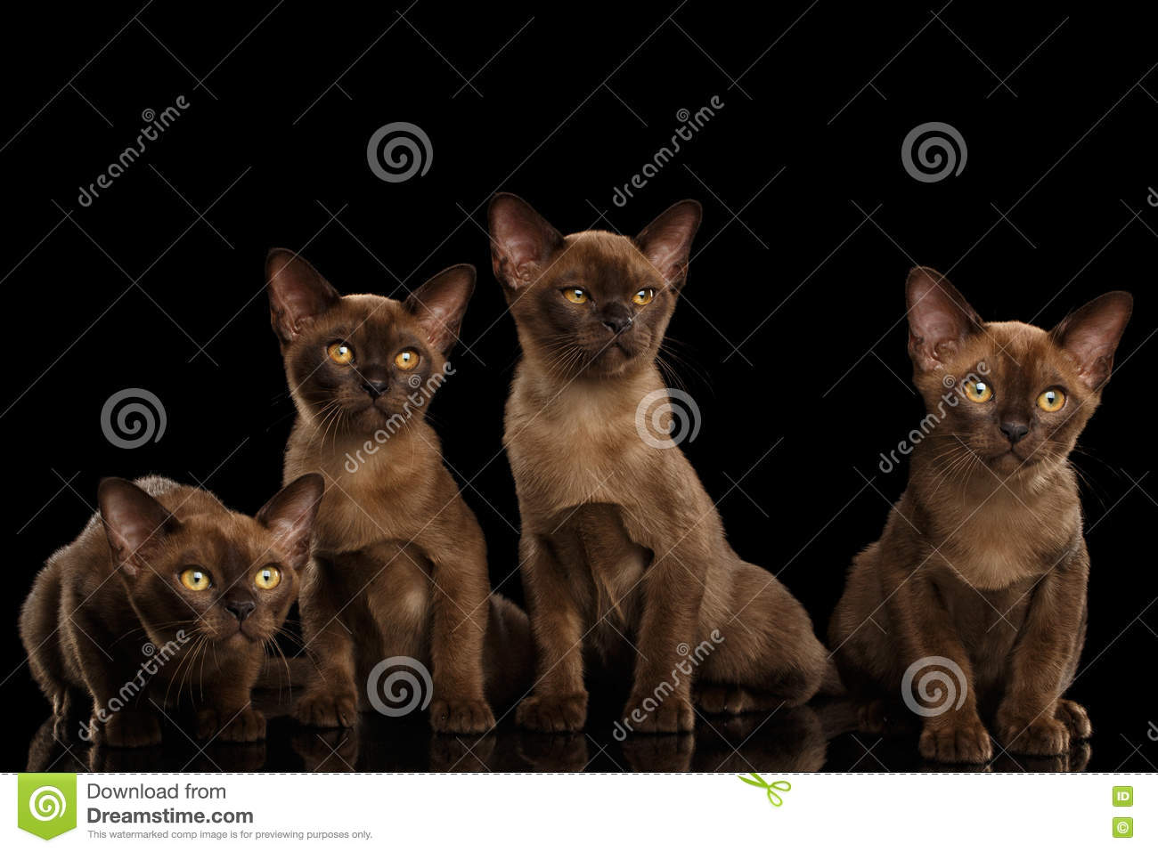 Four Cute Burma Kittens Sitting, Isolated Black Background