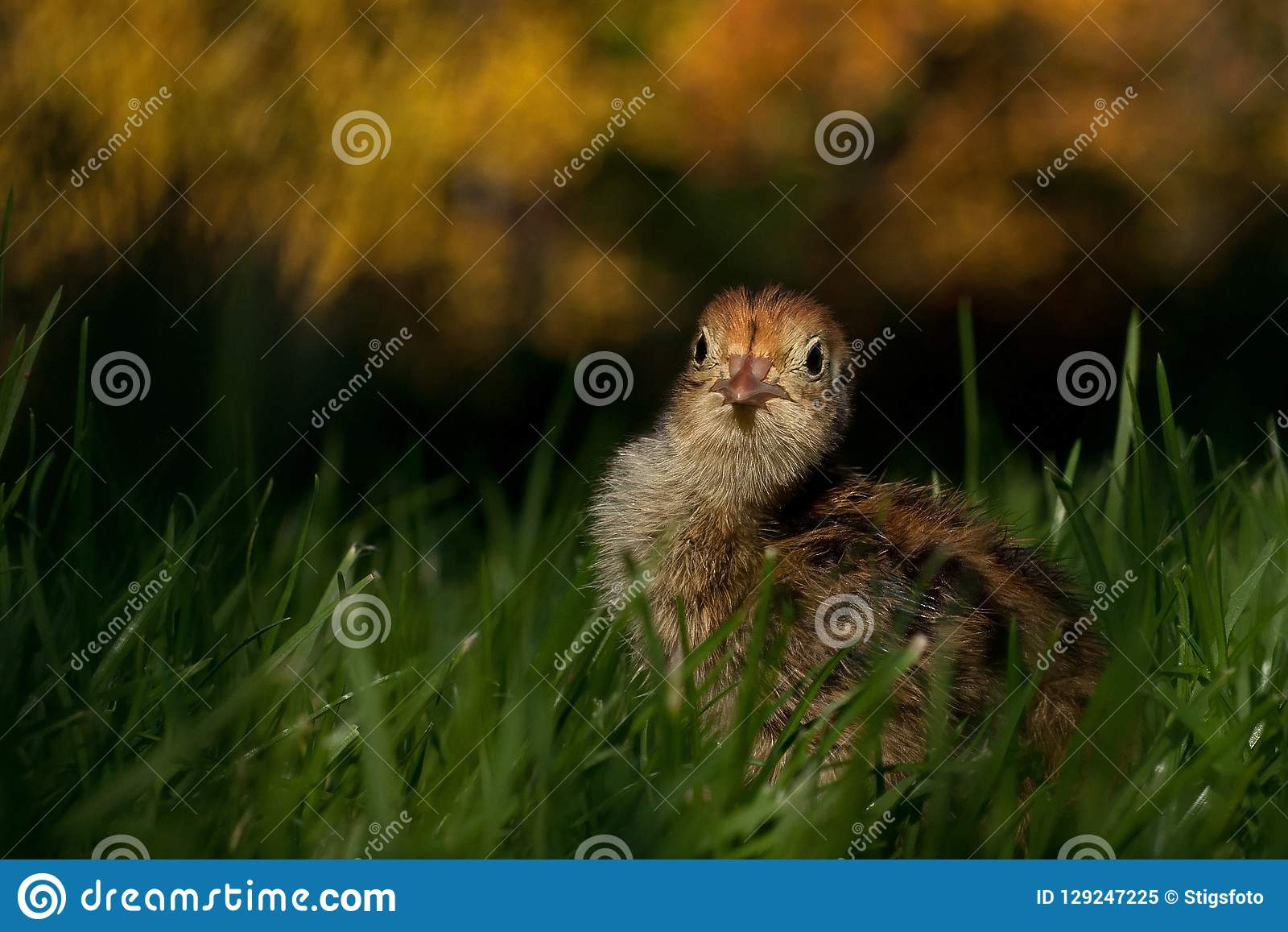Four days old quail, Coturnix japonica.....photographed in nature