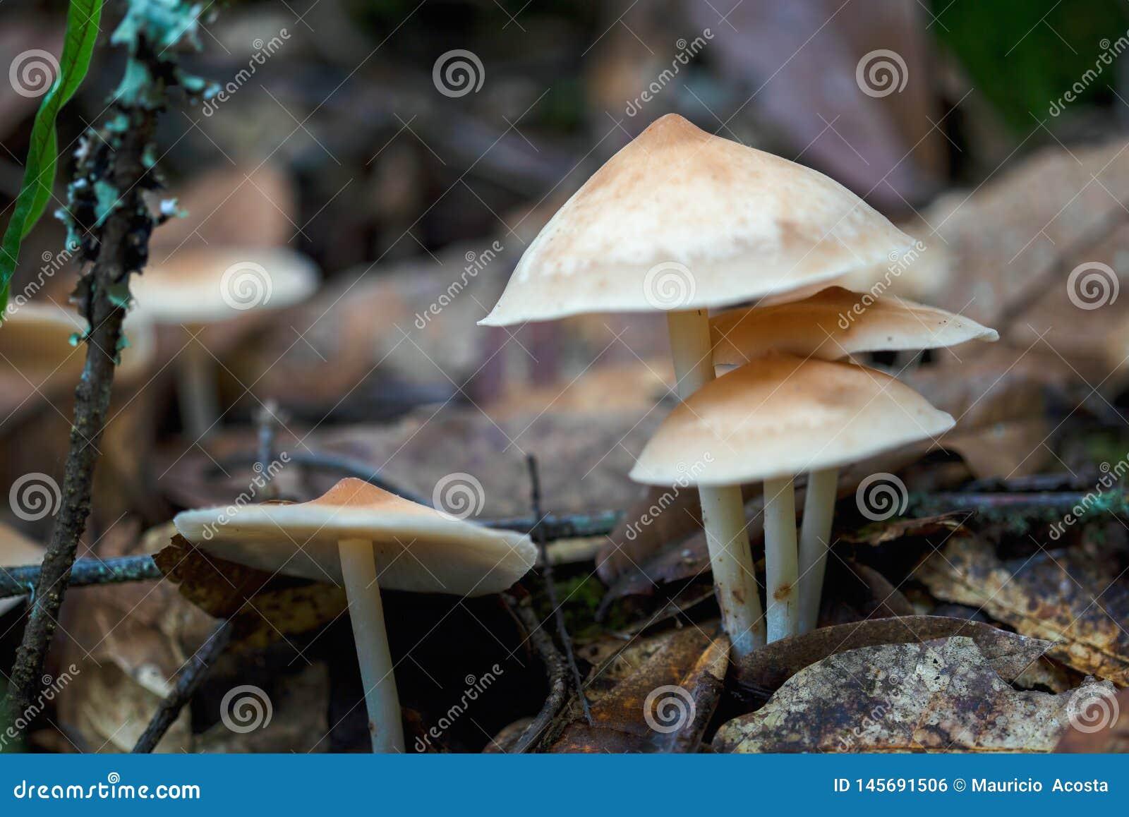 Four gymnopus mushrooms on the soil