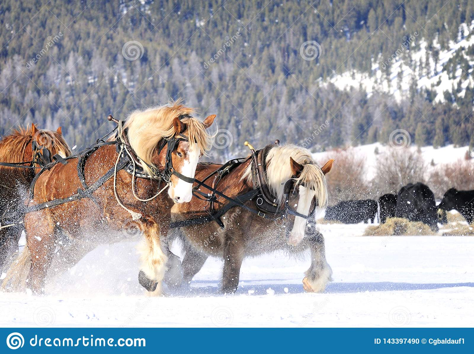 Draft Horses Working Hard Pulling In Snow Stock Photo Image Of Ranch Drawn 143397490