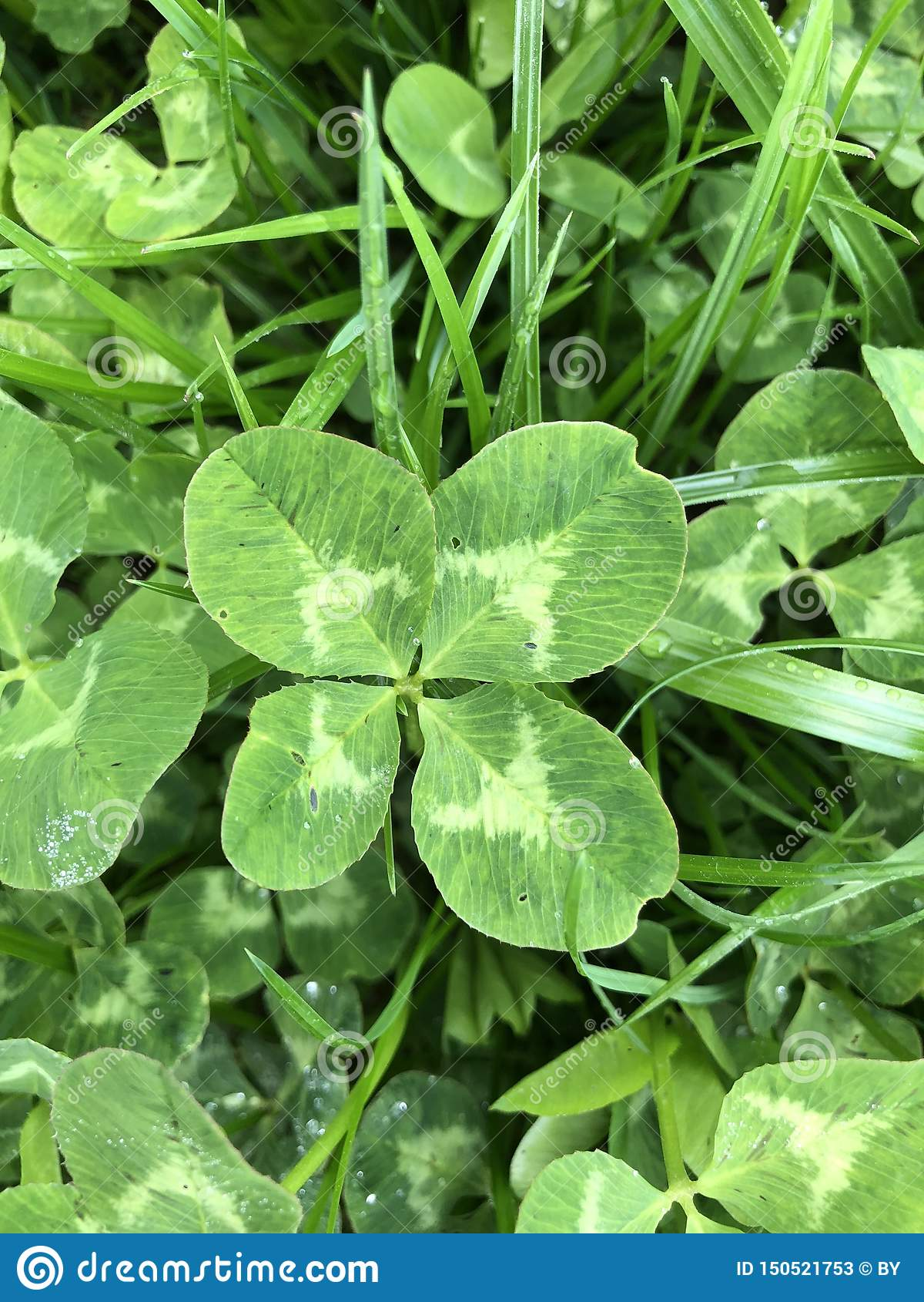 Four-leaf Clover in grass