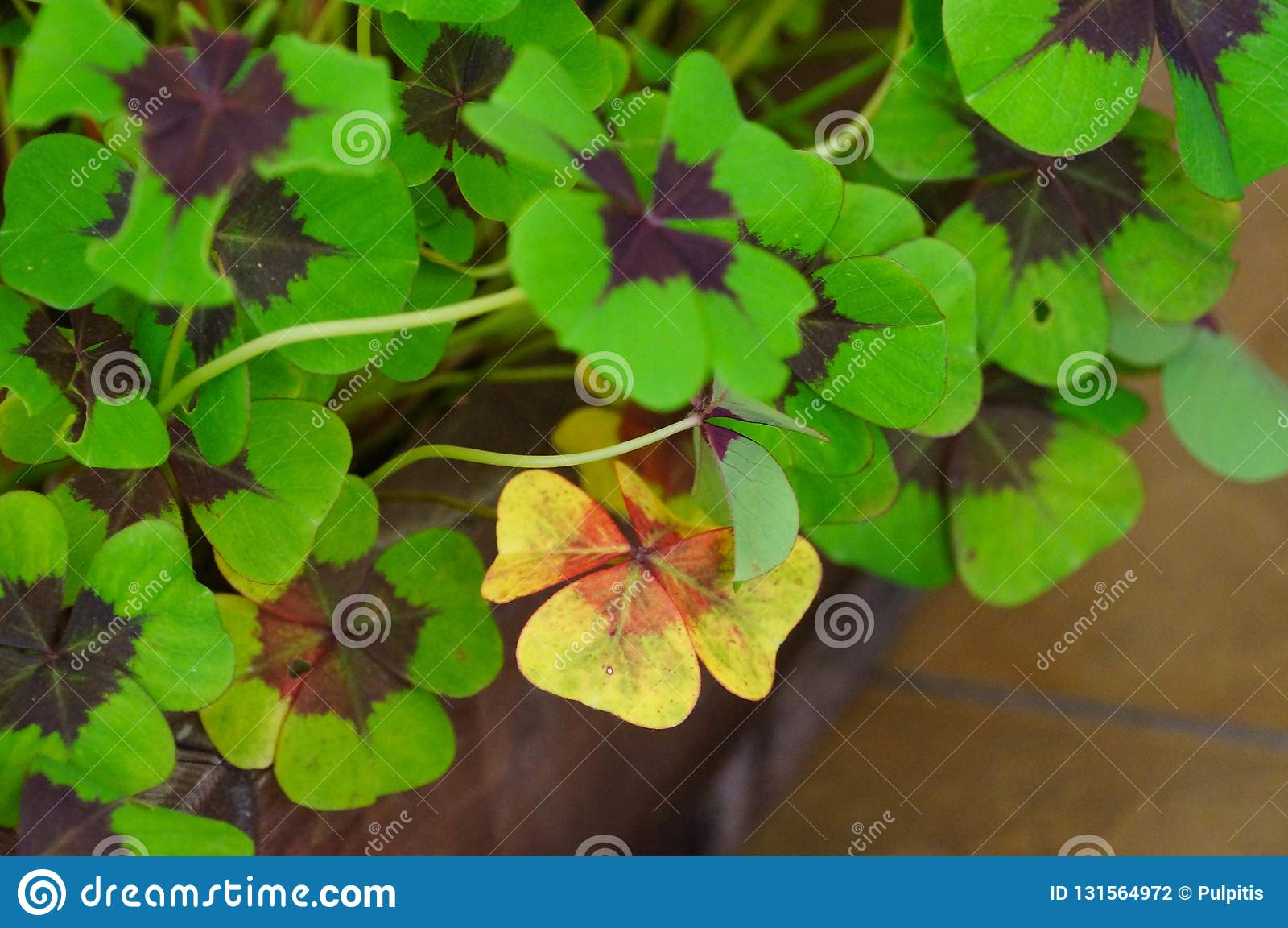 Four Leaf Clover Plant In Altai Republic Russia Stock Photo