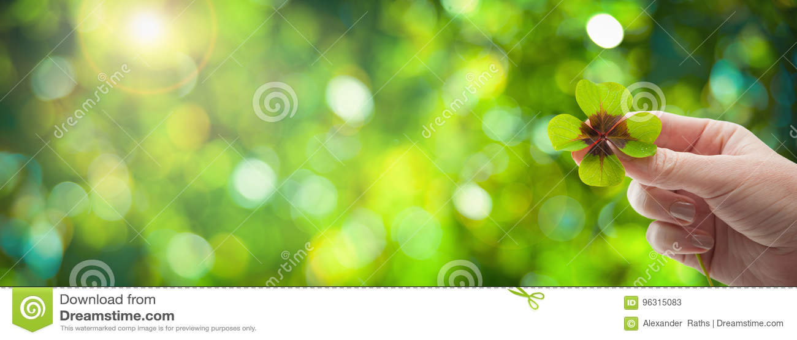 Four leaf clover in women& x27;s hand