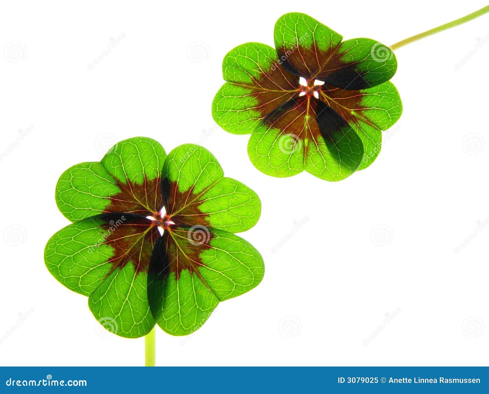 Four leaf koniczynę