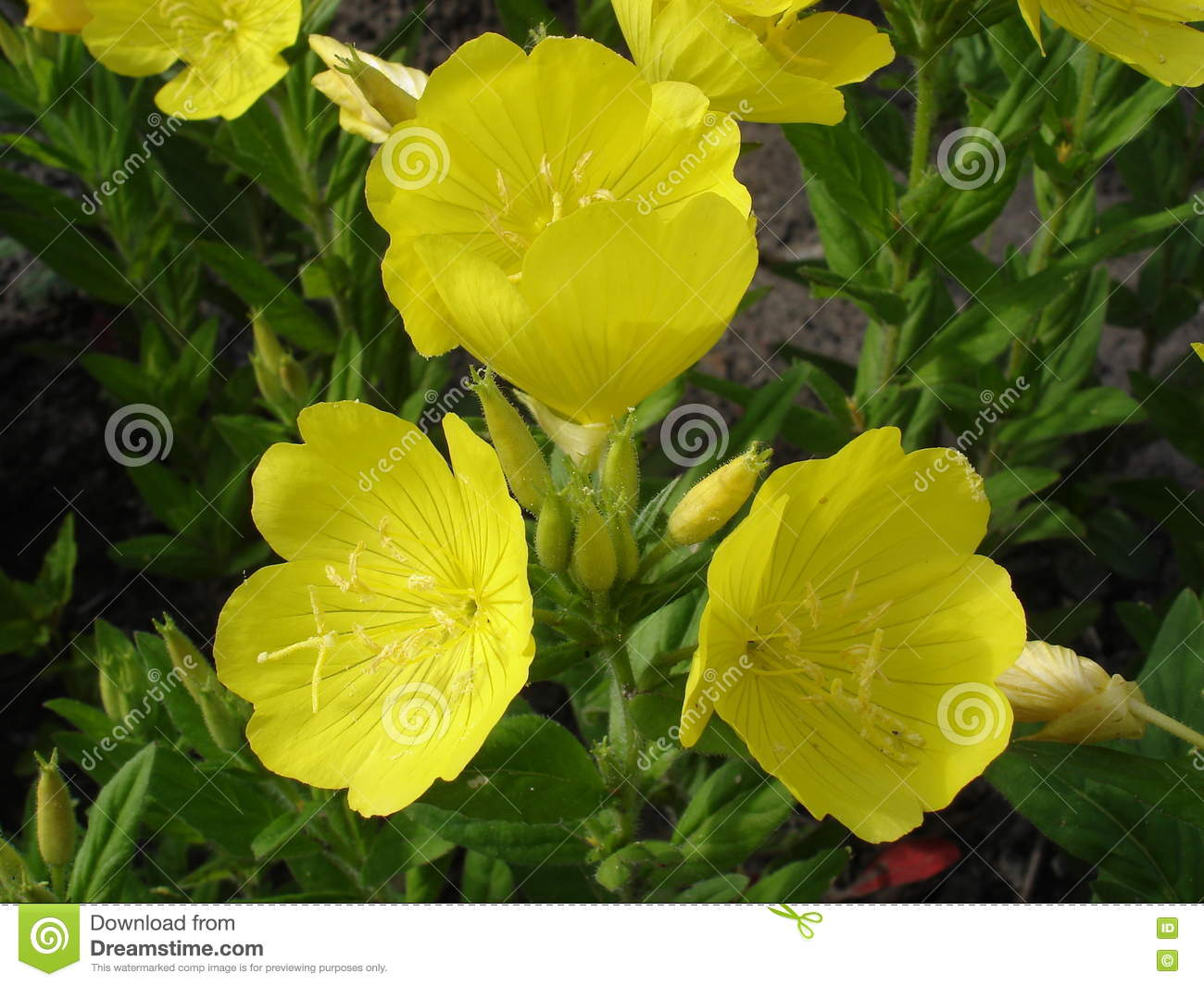 Four Leaf Suncups Evening Primrose Yellow Flowers Stock Image