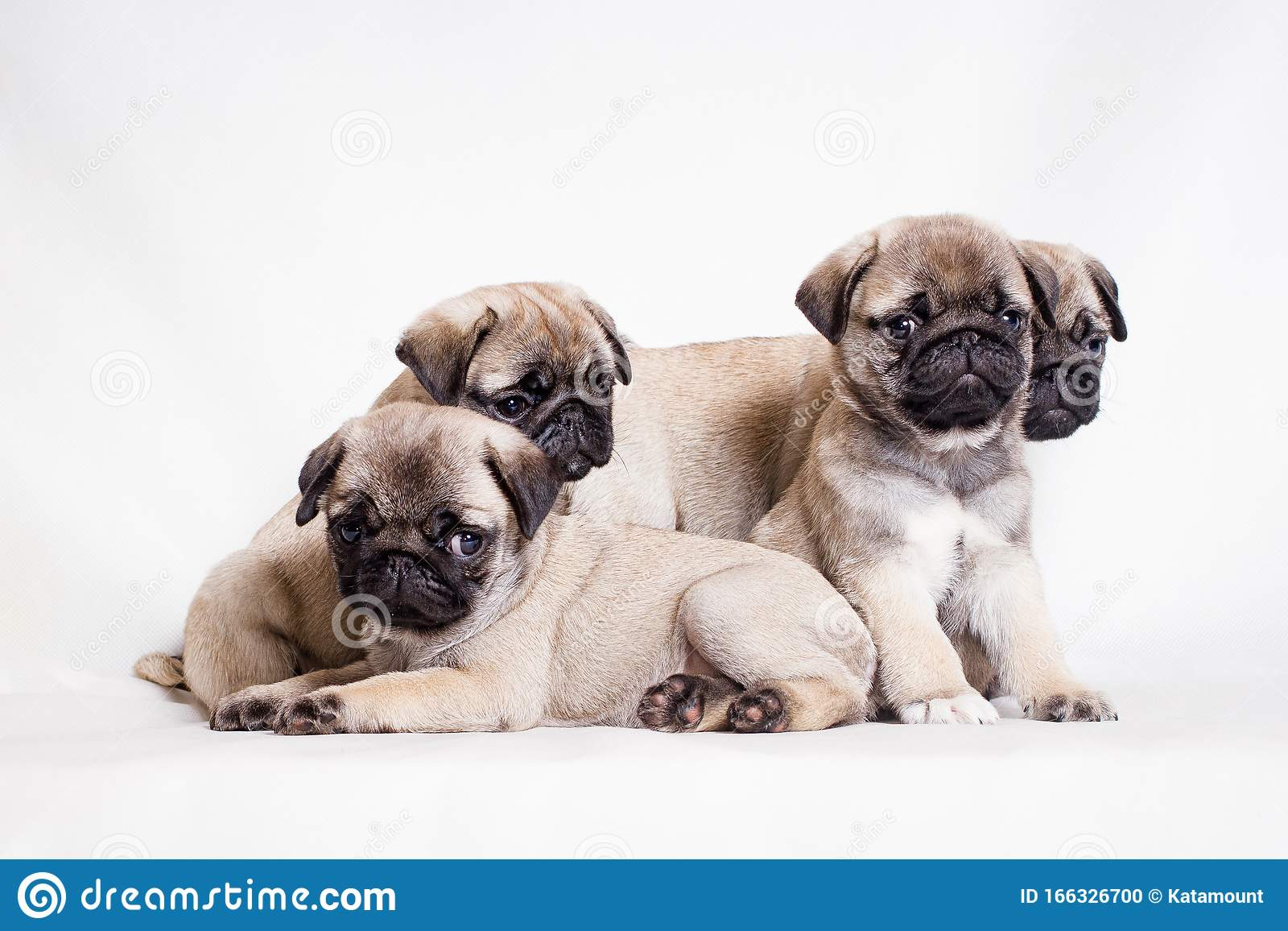 Four Little Fawn Pug Puppies Sit On A White Background Stock Photo Image Of Friend Flattened 166326700