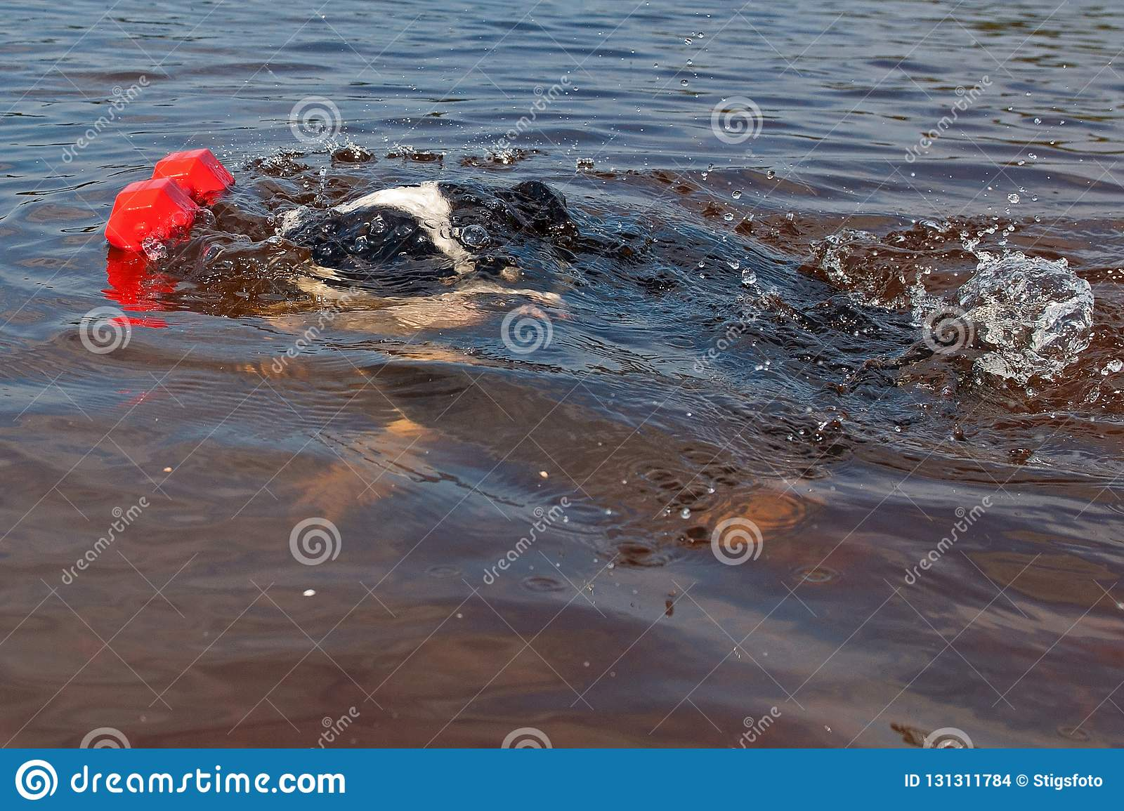 Four Months Puppy Of Old English Bulldog Swim And Play