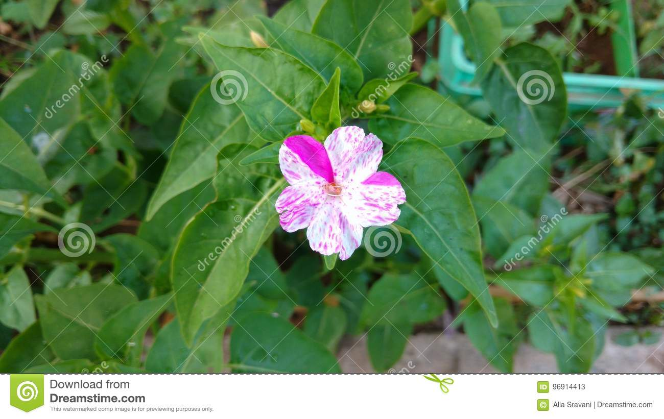 Night beauty mirabilis. Cultivation from seeds