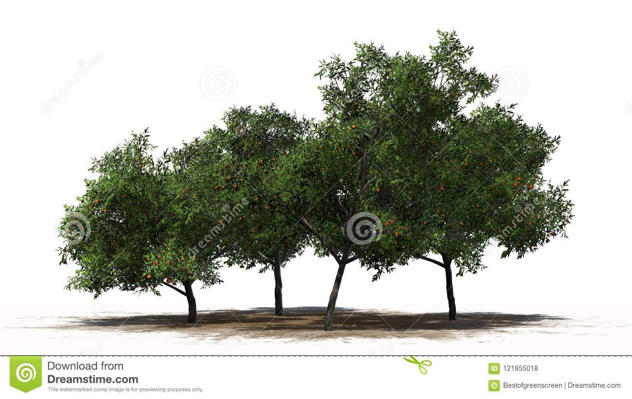 Four peach trees with fruits - separated on white background