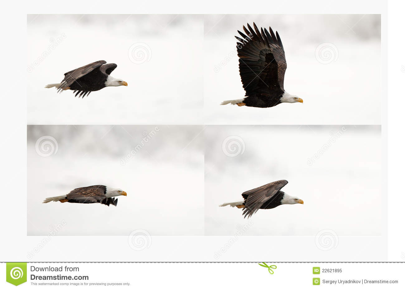 Four Phase Of Flight An Eagle Stock Image Independence Bald Diagram